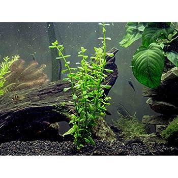 amazon com aquatic arts moneywort 2 bunches live aquarium