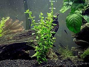 Amazon.com: Moneywort - 2 Bunches - Live Aquarium Plants by Aquatic Arts: Pet Supplies