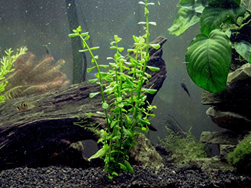 Aquatic Arts Moneywort - 2 Bunches - Live Aquarium Plants ()