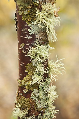 Moss Growing On A Birch Tree Trunk Thunder Bay Ontario Canada Poster Print  24 X 36