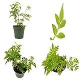 SS0144 Pink Jasmine Plant Jasminum Polyanthum Fragrant 4'' Pot Indoor Outdoor Best Gift