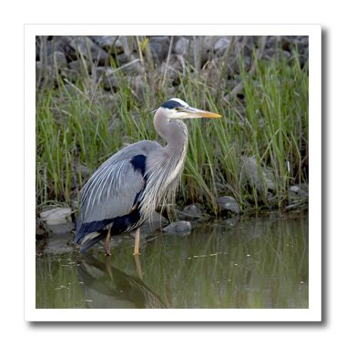 3dRose ht_93375_3 Great Blue Heron Bird Maumee Bay Refuge Ohio-Us36 Dfr0038-David R Frazier-Iron on Heat Transfer for Material,10 by 10-Inch, White
