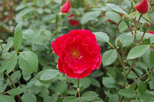 Rosa 'Blaze' (Climbing Rose) Rose, red flowers, #3 - Size Container by Green Promise Farms (Image #2)
