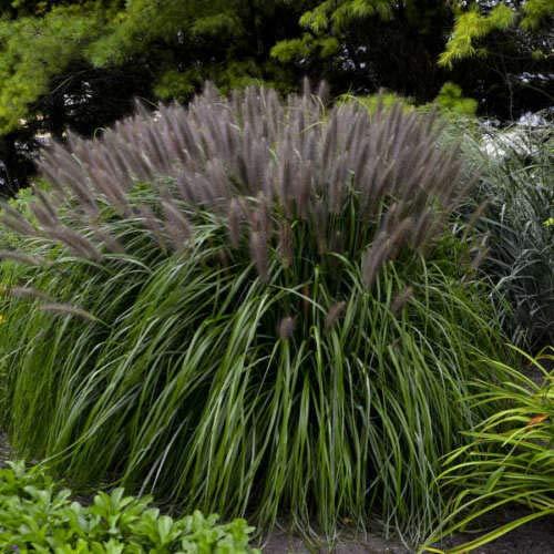 (Grass 'RED Head'. Ornamental Fountain Grass. Plant. Perennial.)