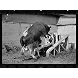 Photo: Cows,cattle,sexual intercourse,farm animals,Prince George's County,Maryland,1935