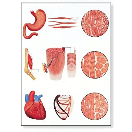3B Scientific V2052M Muscle Tissue Anatomical Chart, with Wooden Rods, Oversize Poster, 33.1' Width x 46.5' Height 33.1 Width x 46.5 Height
