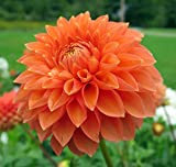Prince of Orange Semi-Dinnerplate Dahlia - 2 Bulb Clumps