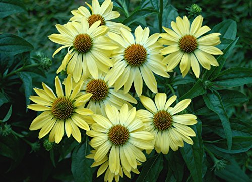 Echinacea Purpurea Seeds - SUNRISE - Big Sky Coneflower - Perennial - 15 (Big Sky Coneflower)