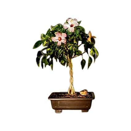 Amazoncom Bonsai Boy Flowering Tropical Pink Hibiscus Braided