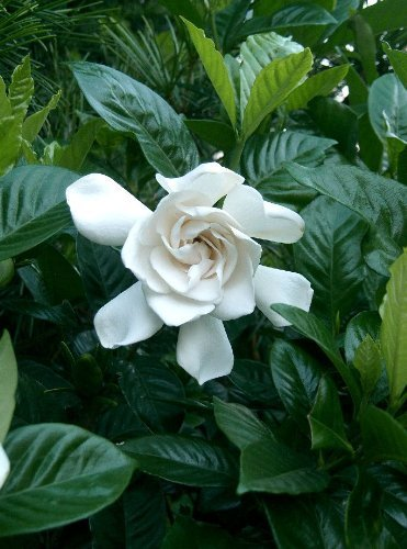 Gardenia Mystery Qty 30 Live Plants Flowering Shrub by Gardenia Mystery (Image #4)