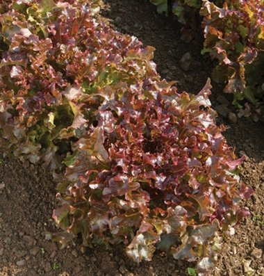 David's Garden Seeds Lettuce Red Salad Bowl D2233OP (Red) 1000 Organic Seeds