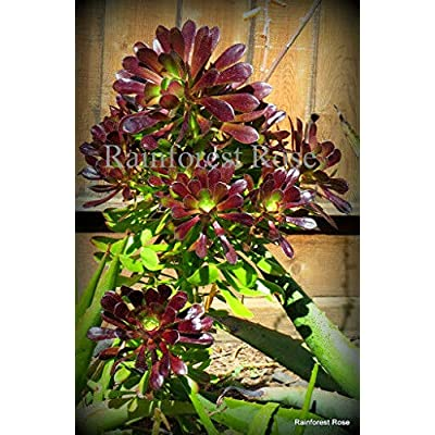 1 Aeonium red/Green Cutting Cactus Succulents Plants Black Rose Cactus Cyclops : Garden & Outdoor