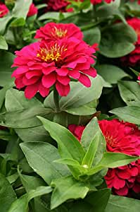 SD1335 Red F1 Old Age Flower Seeds Dream, Zinnia Seeds, Live Flower Seeds, 60-Days Money Back Guarantee (10 Seeds)