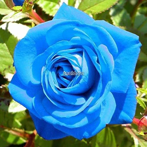 Go Garden New Nice Adorable Flower Fragrant Blooms Light Blue Rose Seeds Ff 02