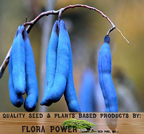 Blue Sausage Fruit Shrub - Decaisnea fargesii Seeds from Flora Power by Red Pine, Inc. (005 Seeds - 5 Seeds) (Chocolate Vine)