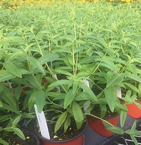 Aloysia triphylla, Lemon Verbena - 12oz Pot - Live Plant +!