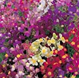 Toadflax Flower Mix Baby Snapdragon 500 Fresh Seeds