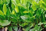 Large Leaf Sorrel Seeds, NON-GMO, Heirloom, Variety Sizes 450k