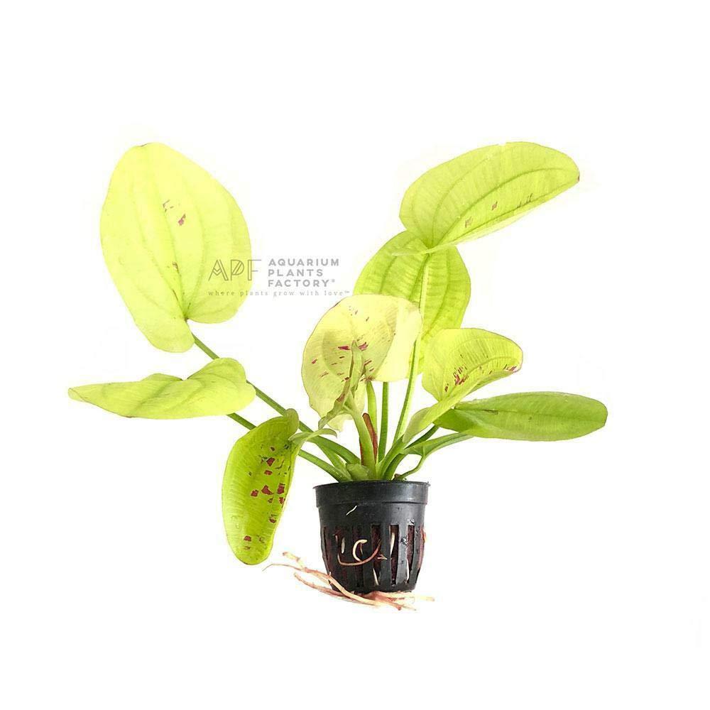 Echinodorus Yellow Flame Sun Pot APF Aquatic Live Aquarium Plants Amazon Sword by SS0156