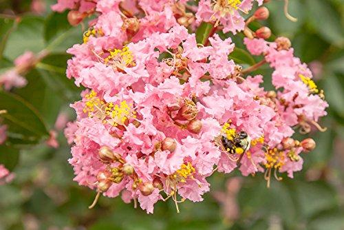 Sioux Crape Myrtle - Size: 4-5', Live Plant, Includes Special Blend Fertilizer & Planting Guide by PERFECT PLANTS (Image #1)