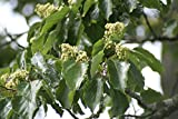20 Seeds Of Japanese Raisin Tree, (Hovenia dulcis)