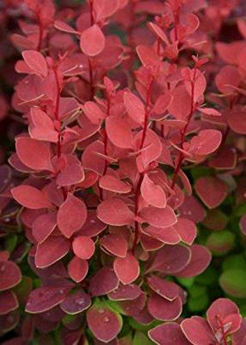 3 Gallon - Orange Rocket Barberry - Colorful Orange-Red Foliage - Bold Vertical Garden Accent - Deciduous Live Plants