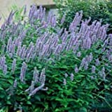 Outsidepride Anise Hyssop - 5000 Seeds