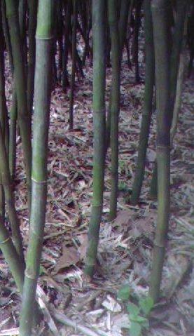 arundinaria-gigantea-river-cane-native-north-american-bamboo-1-size-live-plant