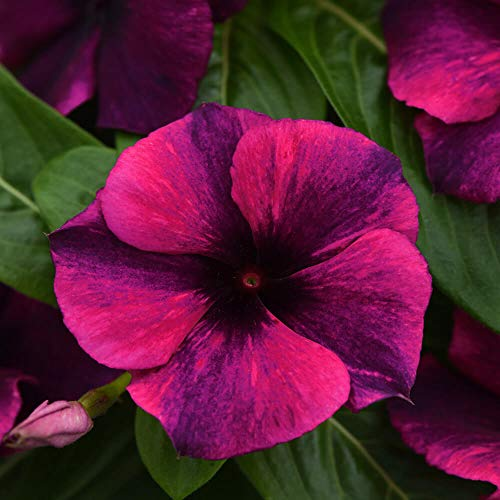 - Outsidepride Tattoo Black Cherry Vinca Ground Cover Seed - 50 Seeds
