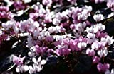 5 Starter Plants of Cyclamen Coum