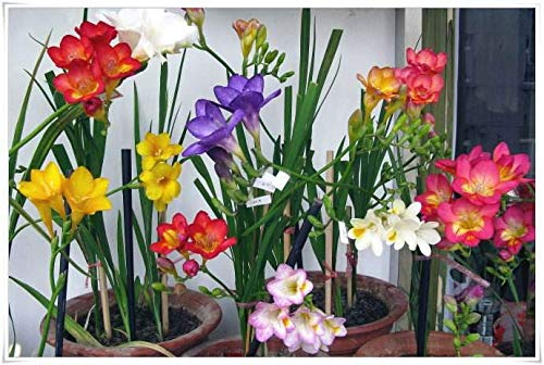 (Mix Freesia Bulbs -10 Bulbs- Officinal Perfume Summer Flowering Decoration Hydroponic Plants Miniature Tree Courtyard Seeds)