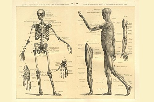 Laminated Human Anatomy Skeleton and Muscles of the Body Educational Chart Sign Poster 18x12 inch -
