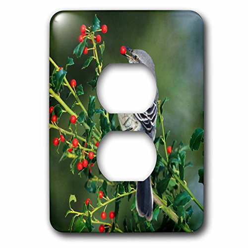 3dRose Danita Delimont - Mockingbird - Northern Mockingbird eating in China Holly, Marion County, Illinois - Light Switch Covers - 2 plug outlet cover - Holly China