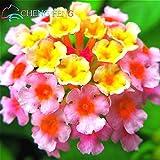 150 pcs Seeds Rare Holland Rainbow Flower Home Garden Rare Flower Seeds Colorful Lantana Seeds