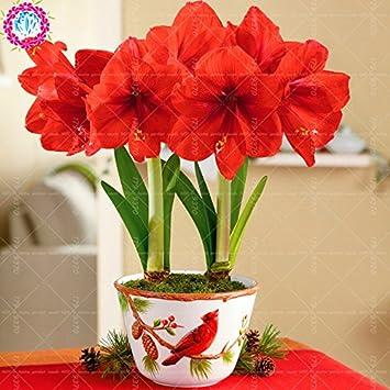 100pcs / bag semillas verdaderas Amaryllis no las semillas de los bulbos de flores, semillas de Bonsai Hippeastrum para el hogar y jardín Semillas de marihuana Barbados flor del lirio 9