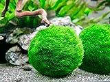 Aquatic Arts 3 Betta Fish Balls - Live Marimo Aquarium Plants for Fish Tanks - Natural Toy Accessories for Betta Fish