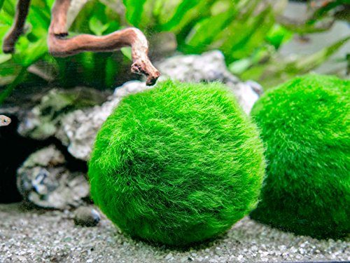 Aquatic Arts 10 Marimo Moss Balls -  Aquarium Ball Set, 1 Inch Each. Unique Decor for Aquariums and Glass Jar Terrarium Kits. Natural Habitat/for Live Fish, Pet Shrimp, Sea Monkeys, and more by