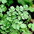 Certified Organic Coriander Herb 100+ Seeds GARDEN FRESH PACK! Grow your own