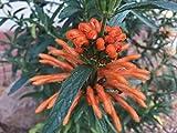 P111X01. 1 Plant of Leonotis leonurus Lion's Tail