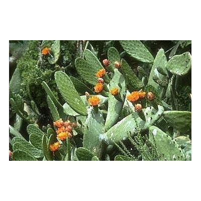 Prickly Pear Cactus 15 Seeds-Opuntia ficus : Cactus Plants : Garden & Outdoor