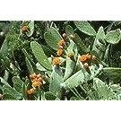 Prickly Pear Cactus 15 Seeds-Opuntia ficus