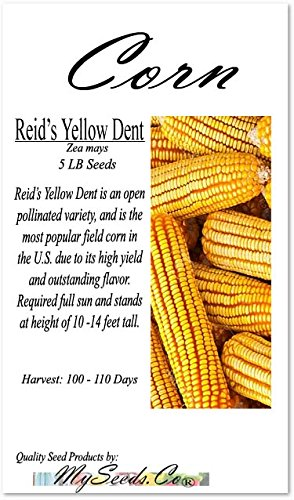 5 lb (8,400+ Seeds) Reid's Yellow Field Corn Seed (OP) Open pollinated Variety - Non-GMO Seeds by MySeeds.Co (5 lb Reid Yellow Corn)