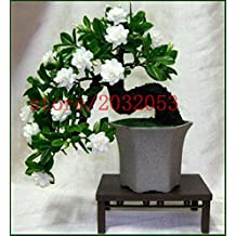 10 jasmine seeds bonsai flower seeds for home garden planting fast grow white pink colors Bonsai Potted Plants for Home & Garden
