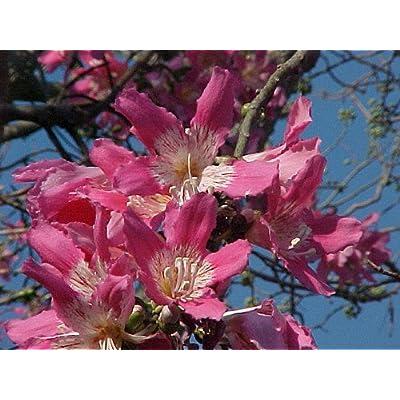 SILK FLOSS TREE (Chorisia speciosa) 3 seeds : Tree Plants : Garden & Outdoor