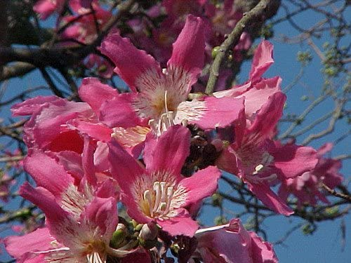 Silk Floss Tree Ceiba//Chorisia speciosa  5 Seed