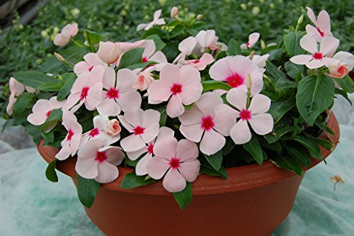 Creative Farmer PlantSeeds For Home Garden Rose Periwinkle...