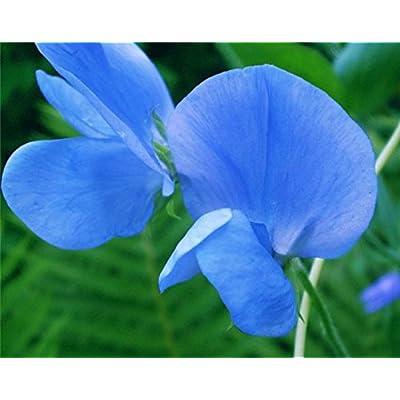 Lathyrus Odoratus sweet pea Tommy Flower Seeds from Ukraine : Garden & Outdoor