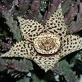 Stapelia variegata (Orbea) - 3-5 cm talee (senza radici)