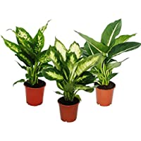 Dieffenbachie - 3er Set mit 3 versch. Sorten - Zimmerpflanzen - Topfpflanze für Anfänger