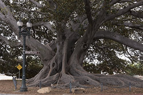 - 24 x 36 Giclee Print of Santa Barbara's Moreton Bay Fig Tree Located in Santa Barbara California is Believed to be The Largest Ficus macrophylla in The Country r36 41395 by Highsmith, Carol M.